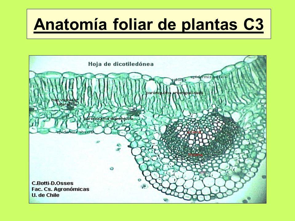 Anatomía foliar de plantas C4 Células de la vaina