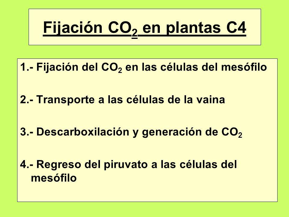 Fijación CO 2 en plantas C4 1.- Fijación del CO 2 en las células del mesófilo 2.- Transporte a las células de la vaina 3.- Descarboxilación y generaci