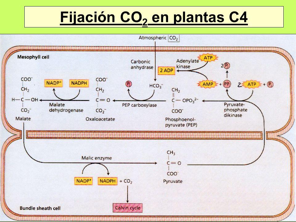 Fijación CO 2 en plantas C4