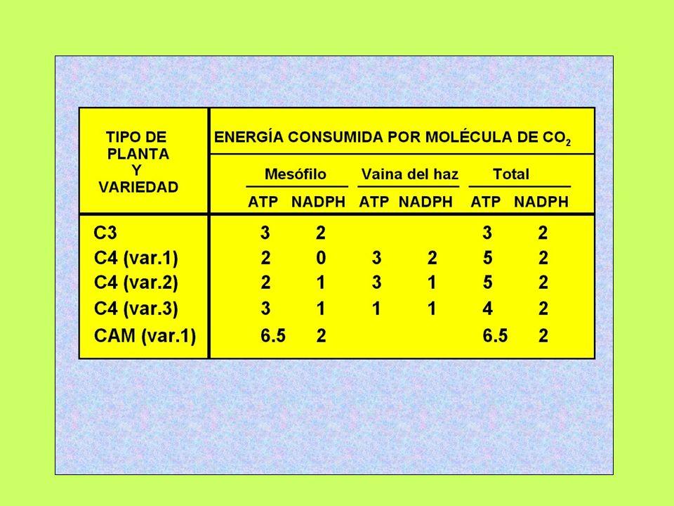 Plantas CAM Entre las plantas con metabolismo CAM: Crassulaceae, Cactaceae, Euphorbiaceae, Aizoaceae, etc.