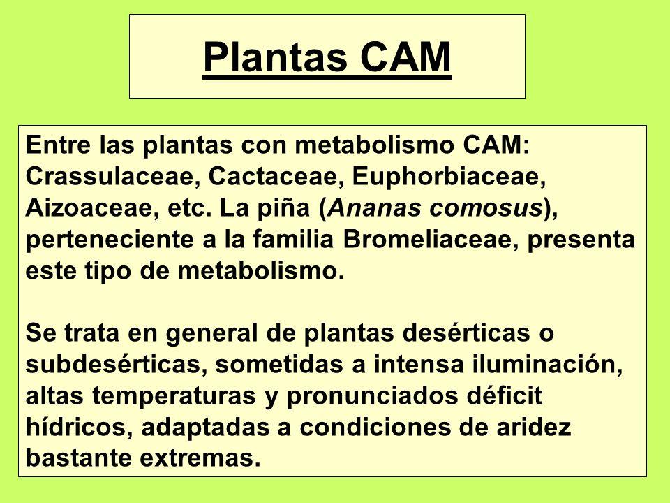 Plantas CAM Entre las plantas con metabolismo CAM: Crassulaceae, Cactaceae, Euphorbiaceae, Aizoaceae, etc. La piña (Ananas comosus), perteneciente a l