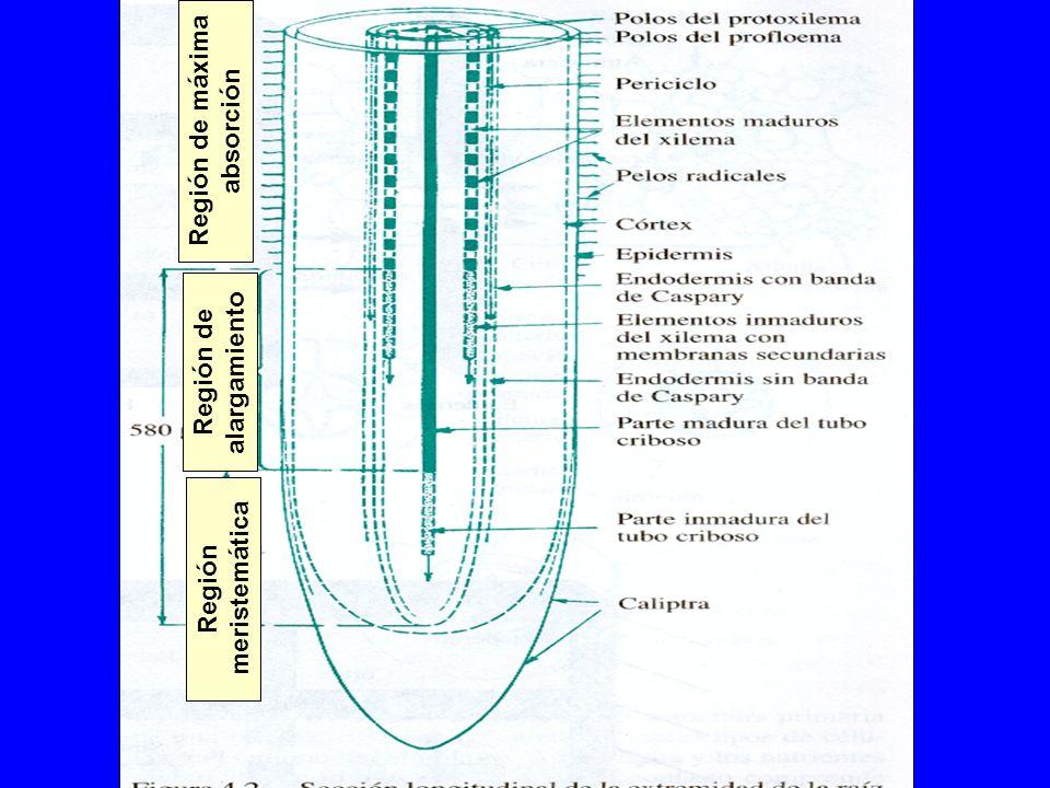 Región de máxima absorción Región meristemática Región de alargamiento