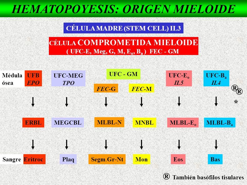 UFB EPO UFC-MEG TPO UFC-E o IL5 UFC-B a IL4 ERBLMEGCBLMLBL-E o MLBL-B a EritrocPlaqEosBas FEC-GFEC-M MLBL-N MNBL Segm.Gr-NtMon HEMATOPOYESIS: ORIGEN M
