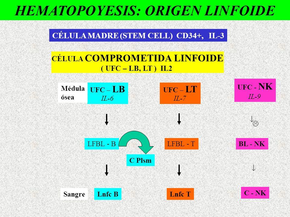 HEMATOPOYESIS: ORIGEN LINFOIDE CÉLULA COMPROMETIDA LINFOIDE ( UFC – LB, LT ) IL2 UFC – LB IL-6 UFC – LT IL-7 LFBL - BLFBL - T Lnfc BLnfc T CÉLULA MADR