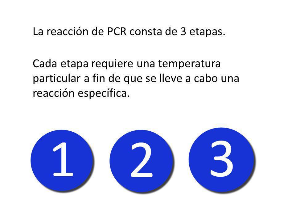 La reacción de PCR consta de 3 etapas.