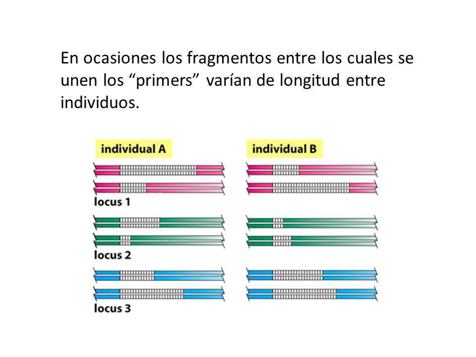 En ocasiones los fragmentos entre los cuales se unen los primers varían de longitud entre individuos.