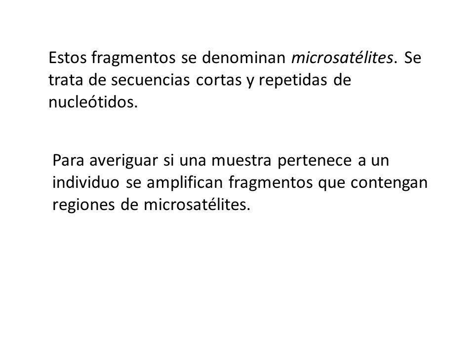 Estos fragmentos se denominan microsatélites. Se trata de secuencias cortas y repetidas de nucleótidos. Para averiguar si una muestra pertenece a un i