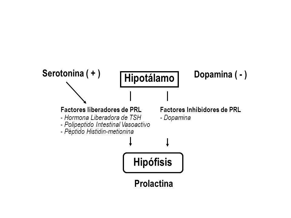 Hipotálamo Prolactina Hipófisis Factores Inhibidores de PRL - Dopamina Factores liberadores de PRL - Hormona Liberadora de TSH - Polipeptido Intestina