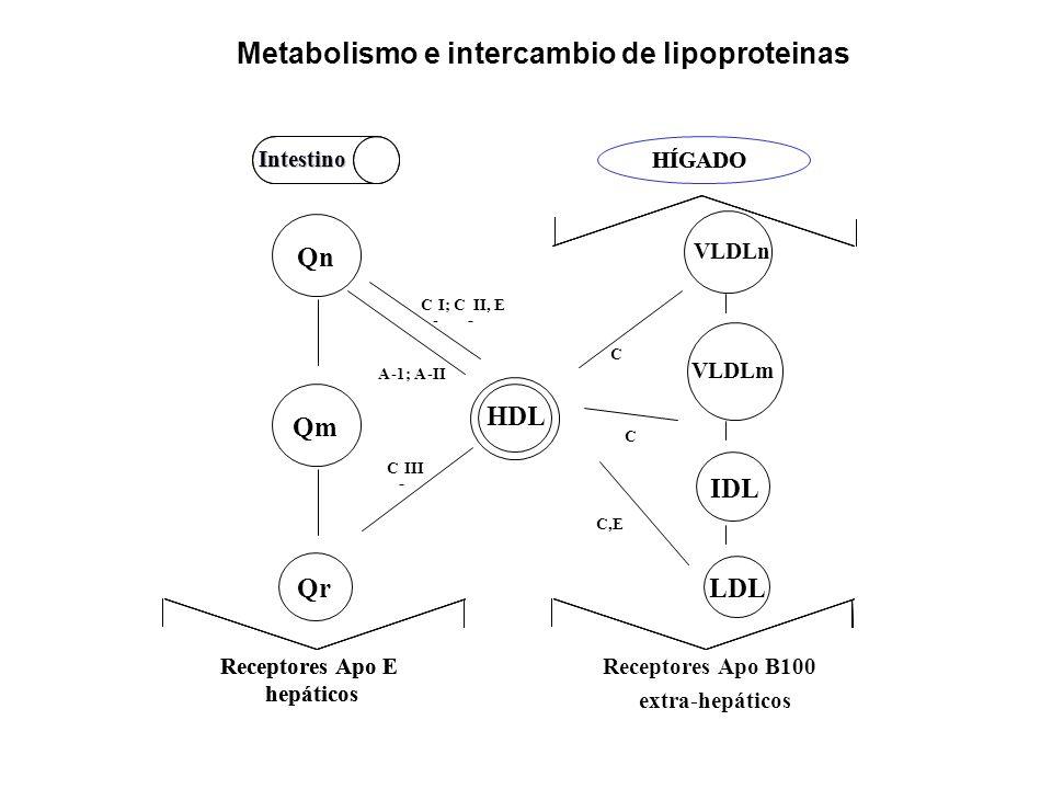 HDL Intestino Receptores Apo E hepáticos -- - HÍGADO QnQm Qr Intestino Receptores Apo E hepáticos Receptores Apo B100 extra-hepáticos - 1; A- C -AII I