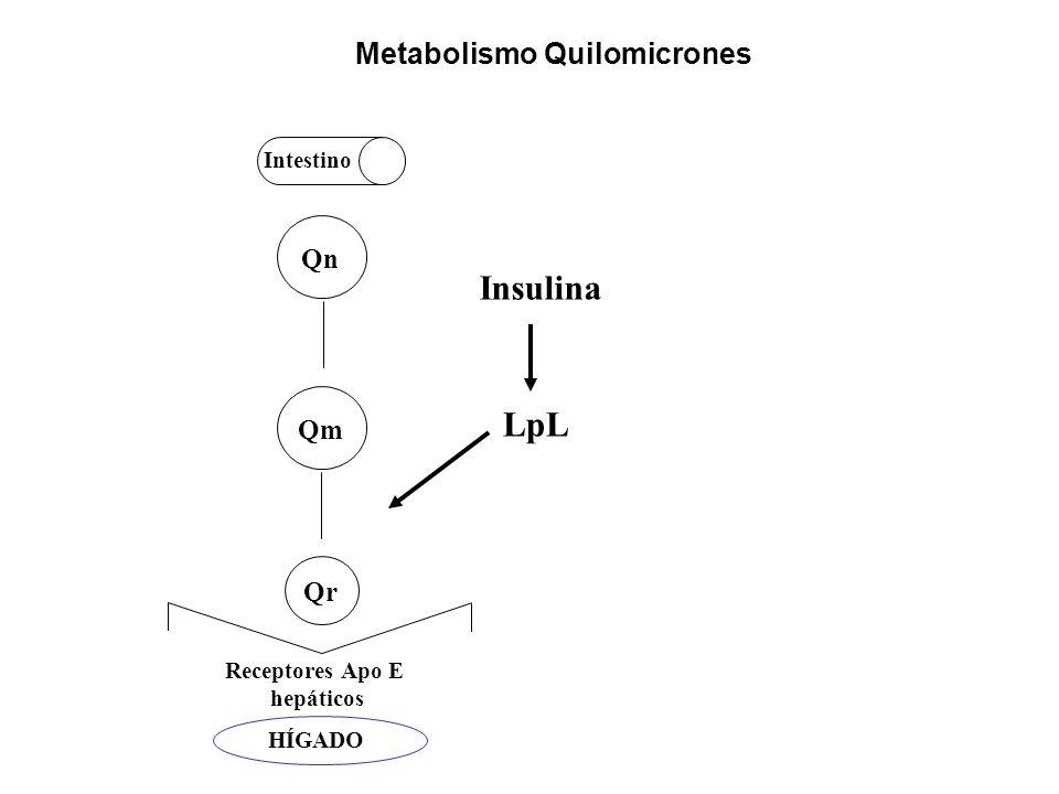 Qn Qm Qr Intestino Receptores Apo E hepáticos Metabolismo Quilomicrones LpL Insulina HÍGADO