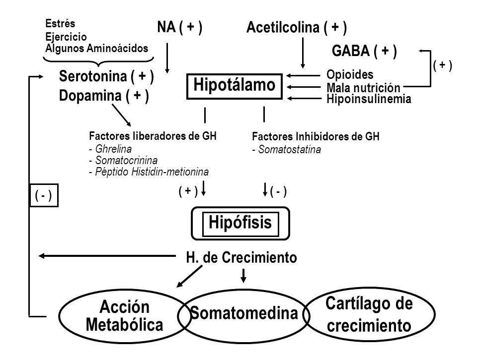 Hipotálamo H. de Crecimiento Hipófisis Acetilcolina ( + ) GABA ( + ) Cartílago de crecimiento Somatomedina Acción Metabólica Estrés Ejercicio Algunos