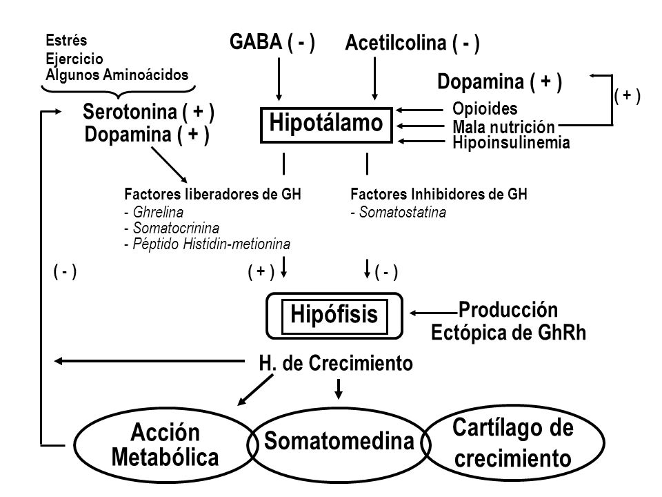 Hipotálamo H. de Crecimiento Hipófisis GABA ( - ) Acetilcolina ( - ) Factores Inhibidores de GH - Somatostatina Producción Ectópica de GhRh Factores l