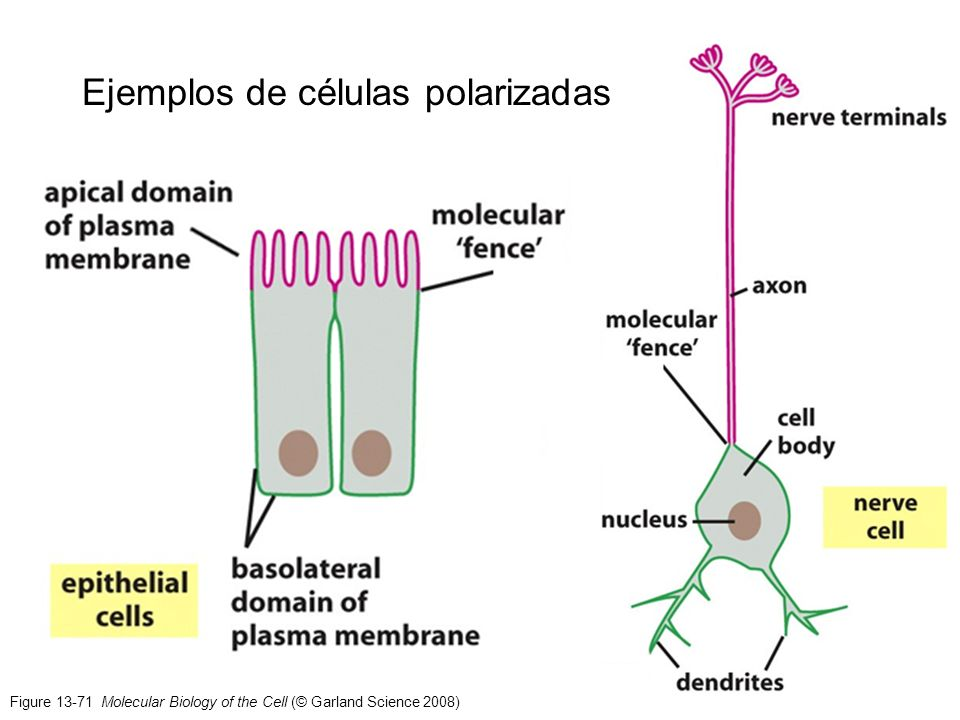 Figure 13-71 Molecular Biology of the Cell (© Garland Science 2008) Ejemplos de células polarizadas