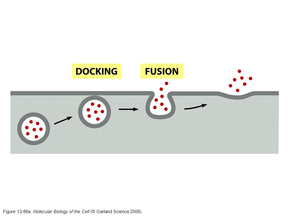 Figure 16-5 Molecular Biology of the Cell (© Garland Science 2008)
