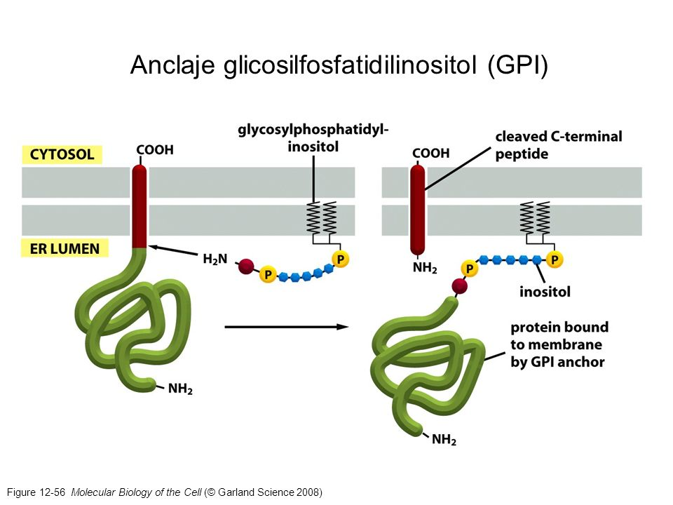Figure 12-56 Molecular Biology of the Cell (© Garland Science 2008) Anclaje glicosilfosfatidilinositol (GPI)