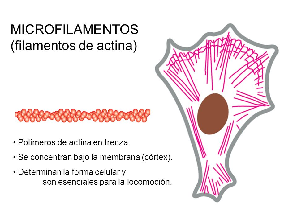 MICROFILAMENTOS (filamentos de actina) Polímeros de actina en trenza. Se concentran bajo la membrana (córtex). Determinan la forma celular y son esenc