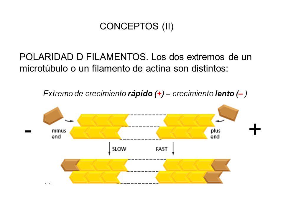CONCEPTOS (II) POLARIDAD D FILAMENTOS. Los dos extremos de un microtúbulo o un filamento de actina son distintos: Extremo de crecimiento rápido (+) –