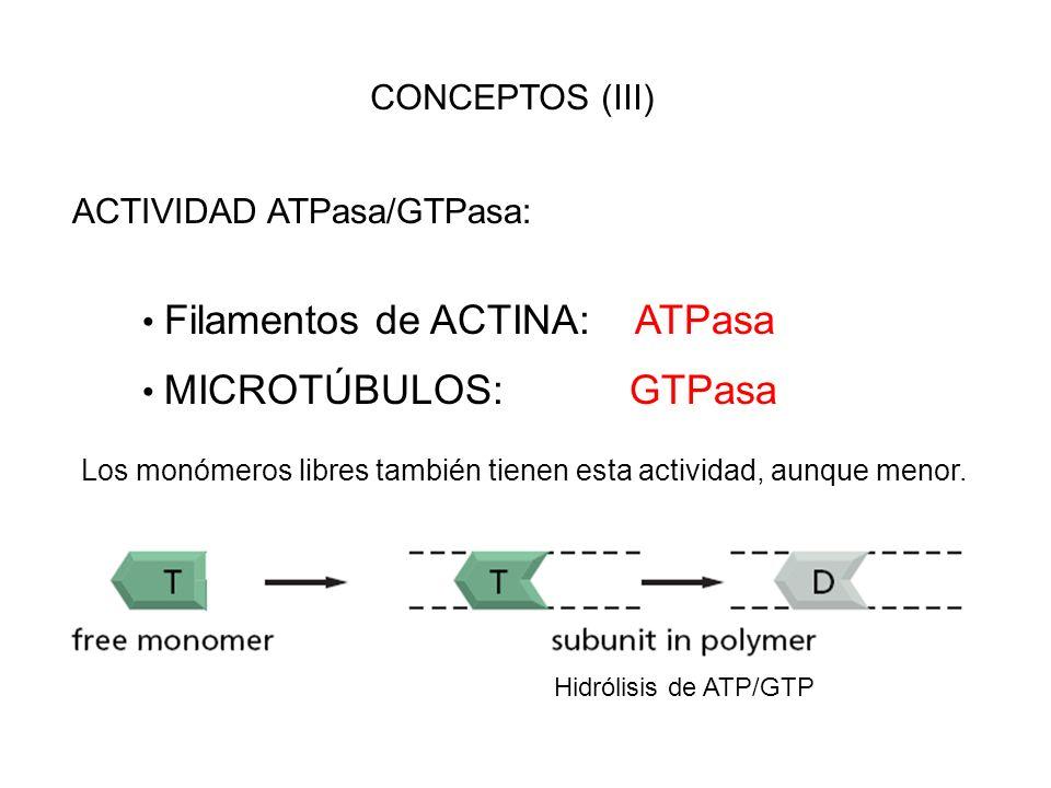 CONCEPTOS (III) ACTIVIDAD ATPasa/GTPasa: Filamentos de ACTINA: ATPasa MICROTÚBULOS: GTPasa Los monómeros libres también tienen esta actividad, aunque
