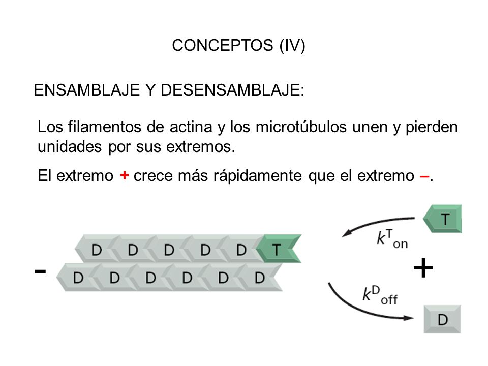 CONCEPTOS (IV) ENSAMBLAJE Y DESENSAMBLAJE: Los filamentos de actina y los microtúbulos unen y pierden unidades por sus extremos. El extremo + crece má