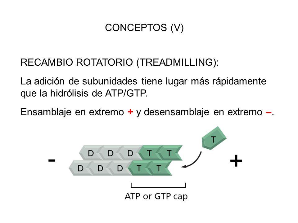 CONCEPTOS (V) RECAMBIO ROTATORIO (TREADMILLING): La adición de subunidades tiene lugar más rápidamente que la hidrólisis de ATP/GTP. Ensamblaje en ext