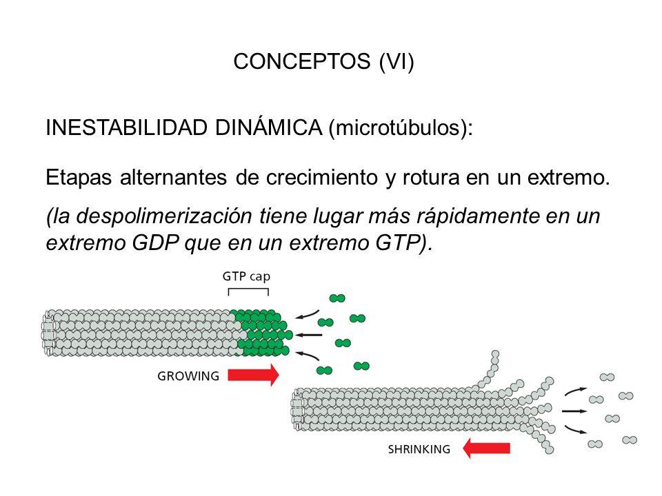CONCEPTOS (VI) INESTABILIDAD DINÁMICA (microtúbulos): Etapas alternantes de crecimiento y rotura en un extremo. (la despolimerización tiene lugar más