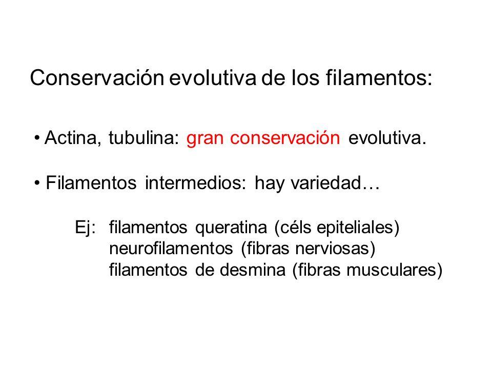Conservación evolutiva de los filamentos: Actina, tubulina: gran conservación evolutiva. Filamentos intermedios: hay variedad… Ej:filamentos queratina