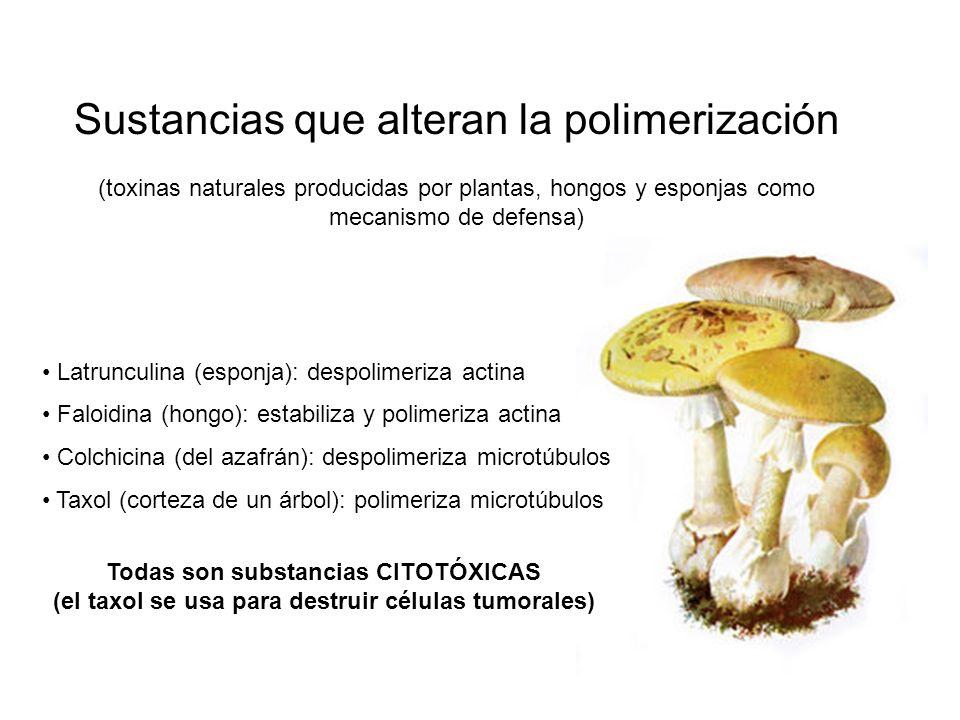 Sustancias que alteran la polimerización (toxinas naturales producidas por plantas, hongos y esponjas como mecanismo de defensa) Latrunculina (esponja