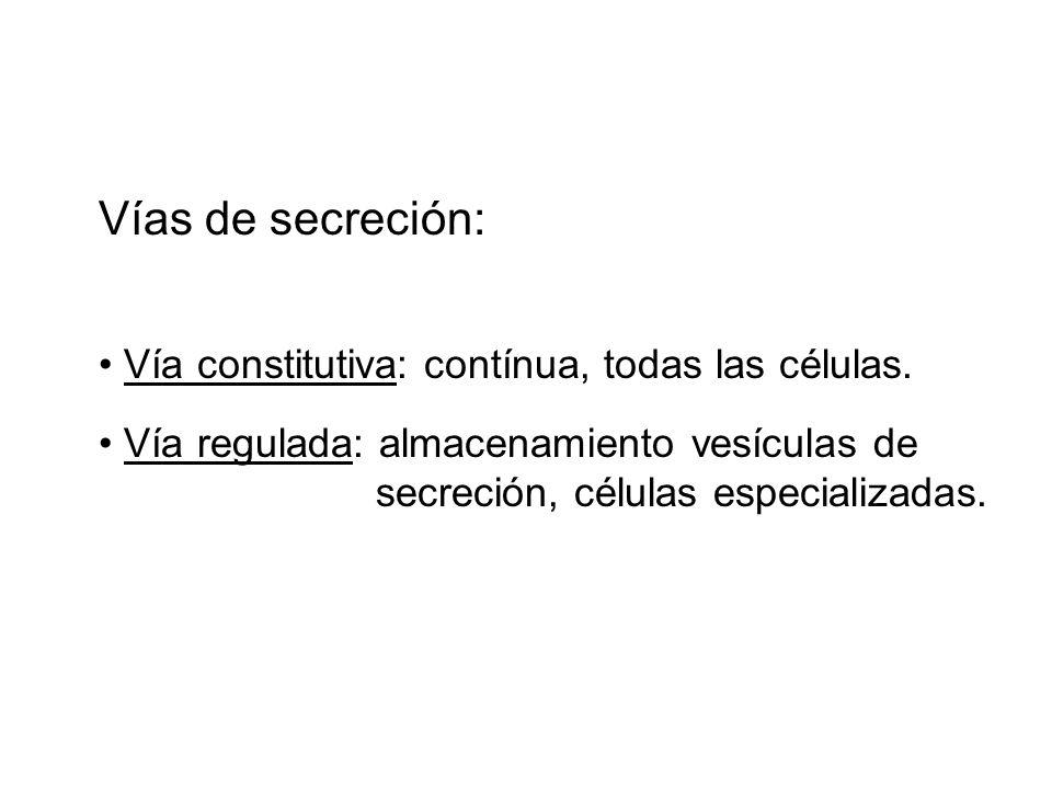 Vías de secreción: Vía constitutiva: contínua, todas las células. Vía regulada: almacenamiento vesículas de secreción, células especializadas.