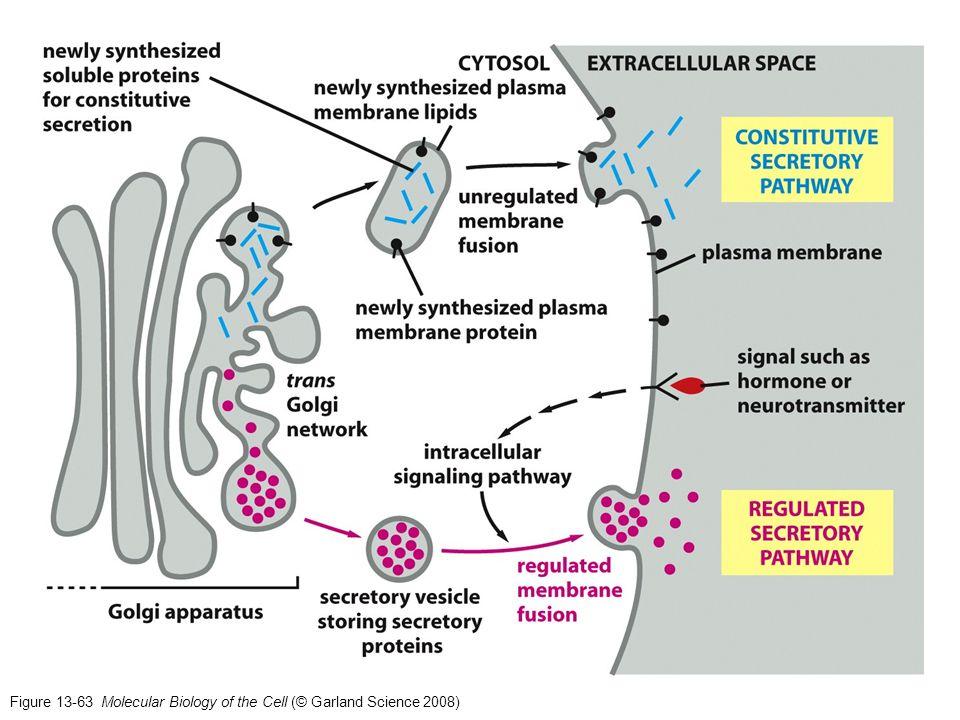 Figure 13-71 Molecular Biology of the Cell (© Garland Science 2008) Ejemplos de células polarizadas