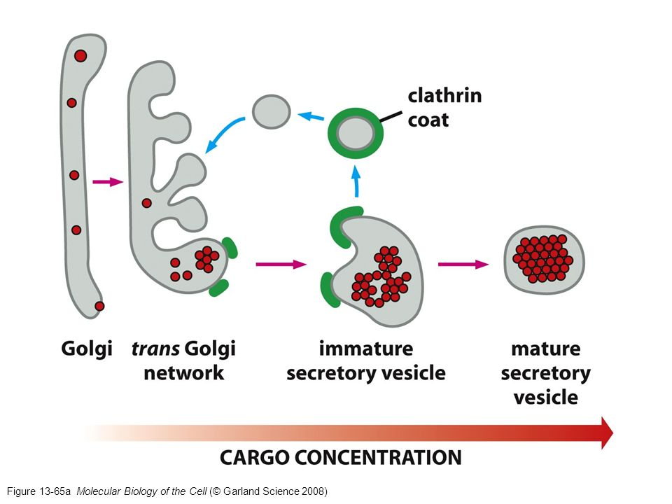 Figure 13-65a Molecular Biology of the Cell (© Garland Science 2008)
