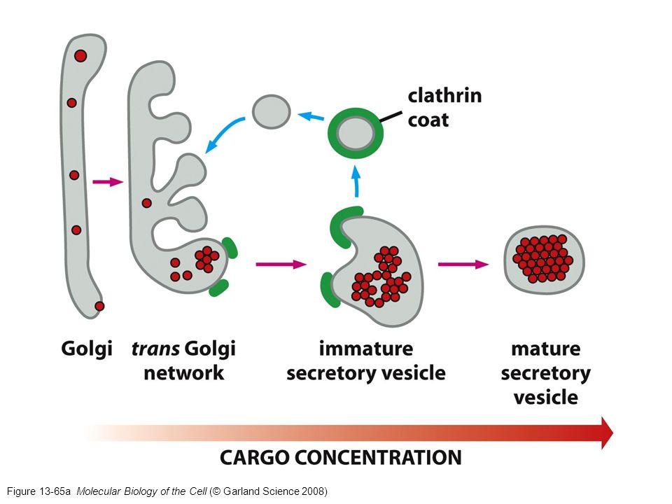Componentes del citoesqueleto: Microfilamentos (actina) Microtúbulos Filamentos intermedios