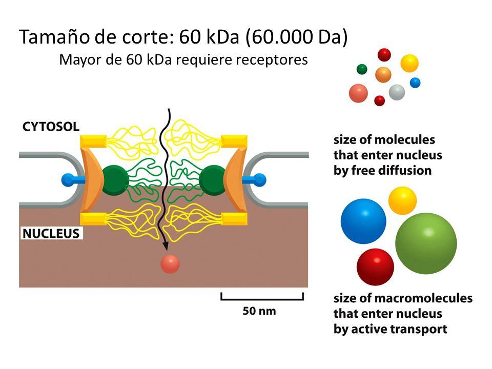 Histonas, polimerasas DNA, polimerasas RNA, factores de transcripción, proteínas proteínas que procesan el RNA. RNAm, RNAt, (RNAr) IMPORTACIÓN al núcl