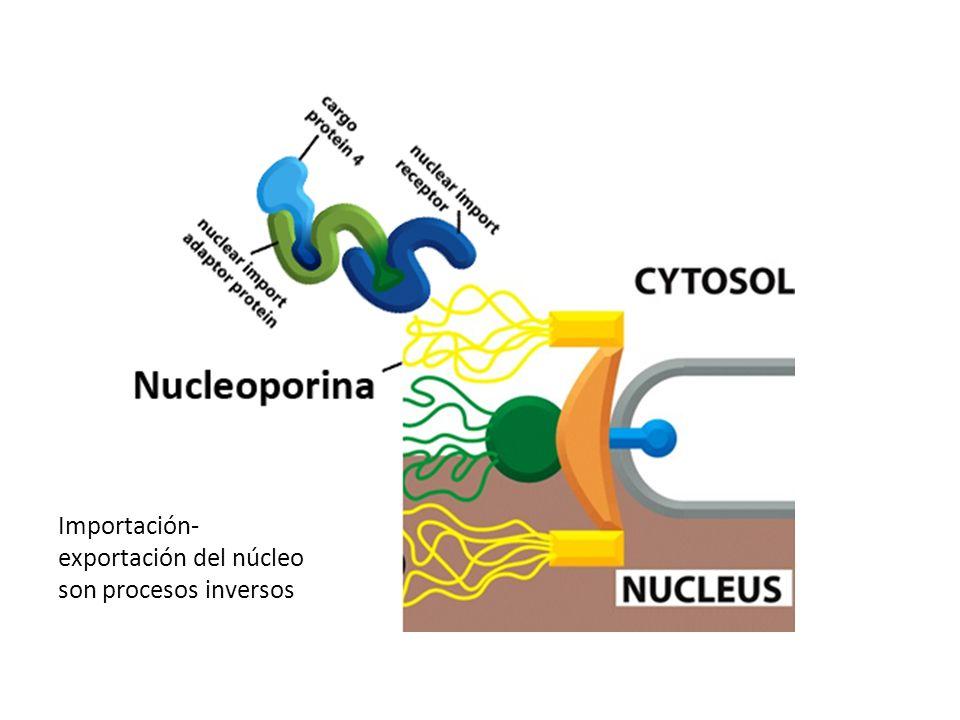 Importación- exportación del núcleo son procesos inversos