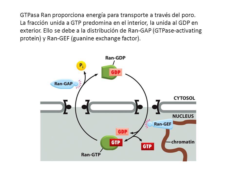 GTPasa Ran proporciona energía para transporte a través del poro. La fracción unida a GTP predomina en el interior, la unida al GDP en exterior. Ello