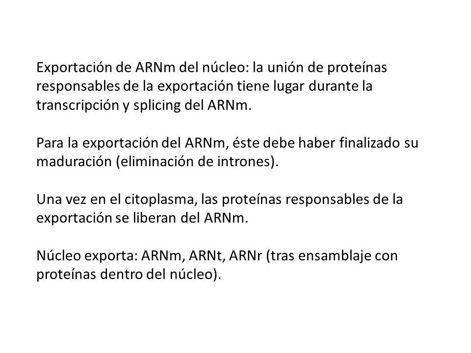 Exportación de ARNm del núcleo: la unión de proteínas responsables de la exportación tiene lugar durante la transcripción y splicing del ARNm. Para la