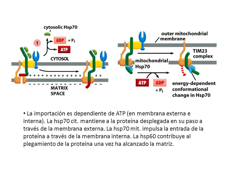 La importación es dependiente de ATP (en membrana externa e interna). La hsp70 cit. mantiene a la proteína desplegada en su paso a través de la membra