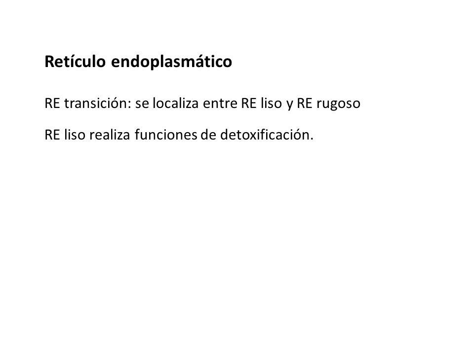 Retículo endoplasmático RE transición: se localiza entre RE liso y RE rugoso RE liso realiza funciones de detoxificación.