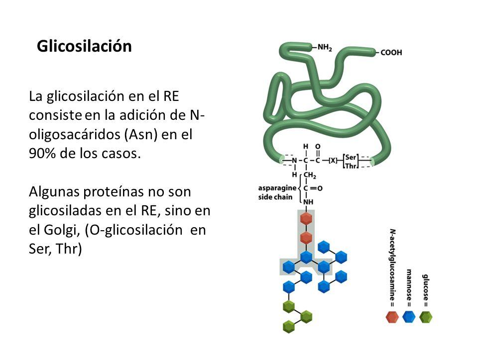 La glicosilación en el RE consiste en la adición de N- oligosacáridos (Asn) en el 90% de los casos. Algunas proteínas no son glicosiladas en el RE, si