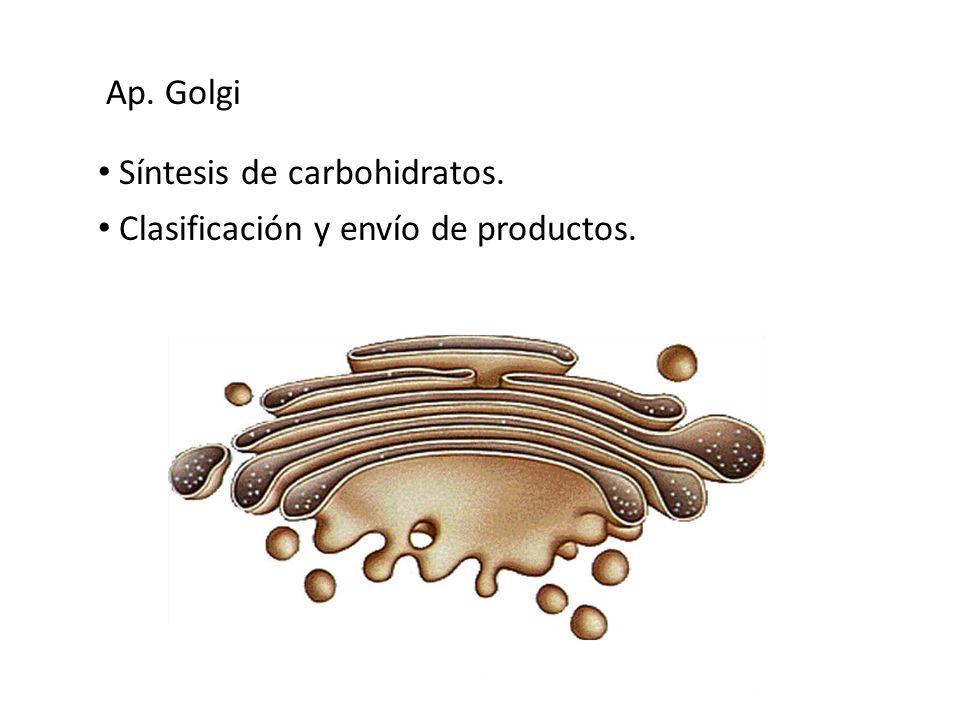 Síntesis de carbohidratos. Clasificación y envío de productos. Ap. Golgi