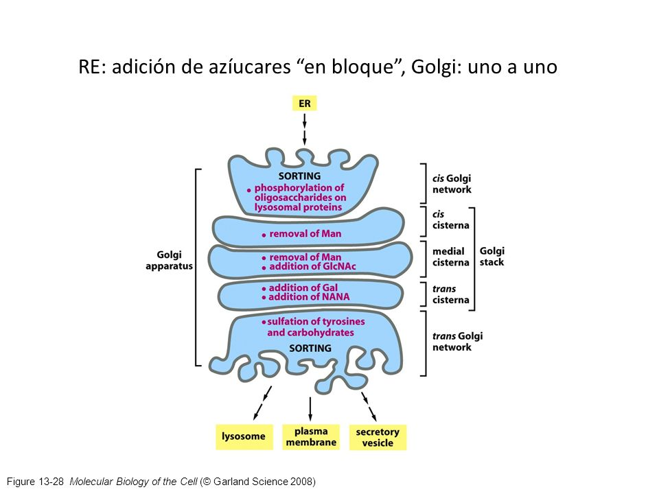 Figure 13-28 Molecular Biology of the Cell (© Garland Science 2008) RE: adición de azíucares en bloque, Golgi: uno a uno