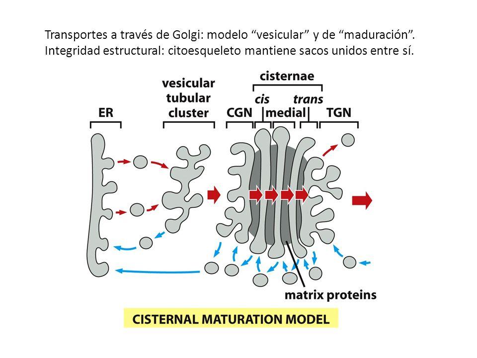 Transportes a través de Golgi: modelo vesicular y de maduración. Integridad estructural: citoesqueleto mantiene sacos unidos entre sí.