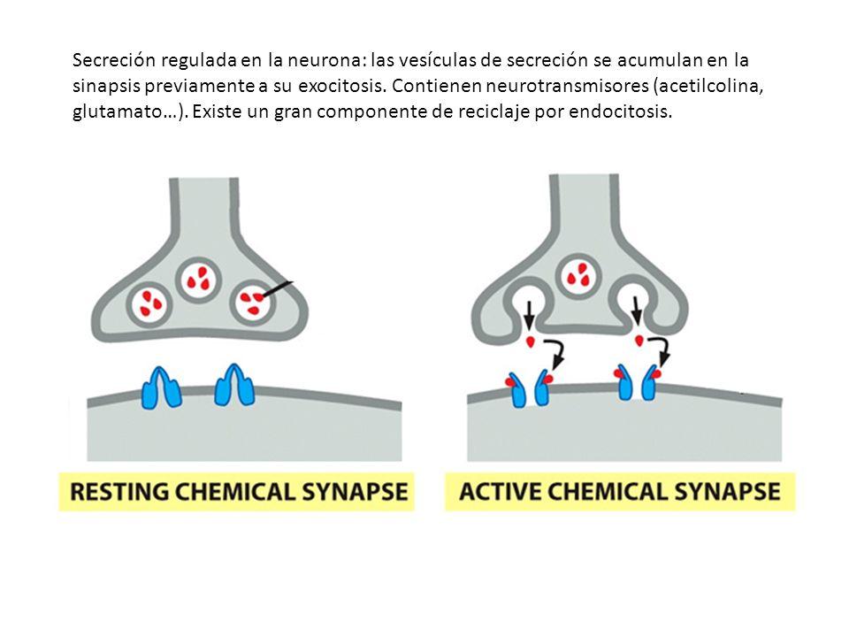 Secreción regulada en la neurona: las vesículas de secreción se acumulan en la sinapsis previamente a su exocitosis. Contienen neurotransmisores (acet