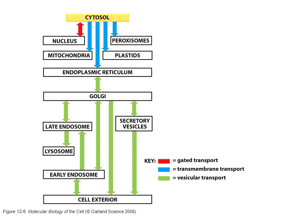 La ATP sintetasa se halla en la membrana interna de la mitocondria (NO la matriz) MITOCONDRIA El transporte a través de los complejos TOM y TIM está acoplada.