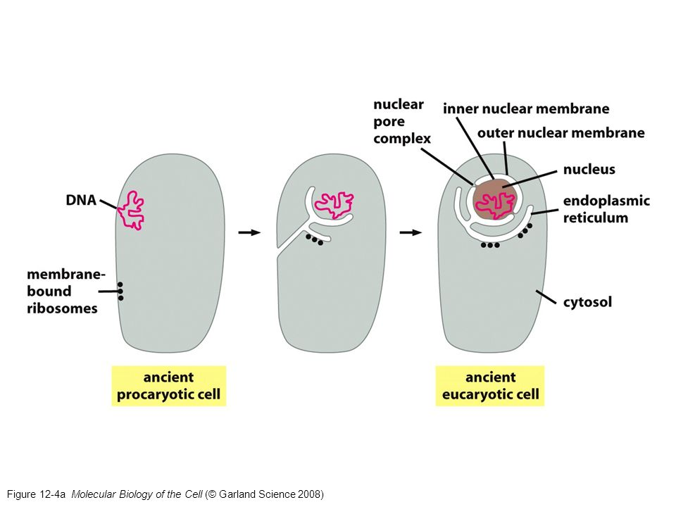 Citoesqueleto Las catastrofinas se unen al extremo + de los microtúbulos favoreciendo su desensamblaje.