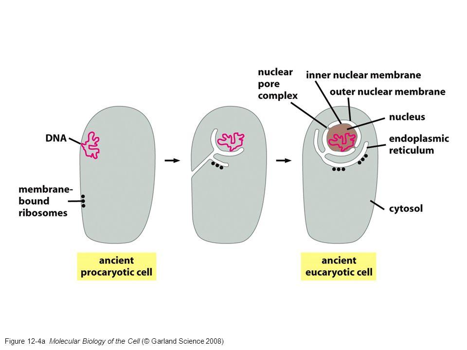 Figure 13-65a Molecular Biology of the Cell (© Garland Science 2008) Transporte Golgi-membrana (exocitosis)