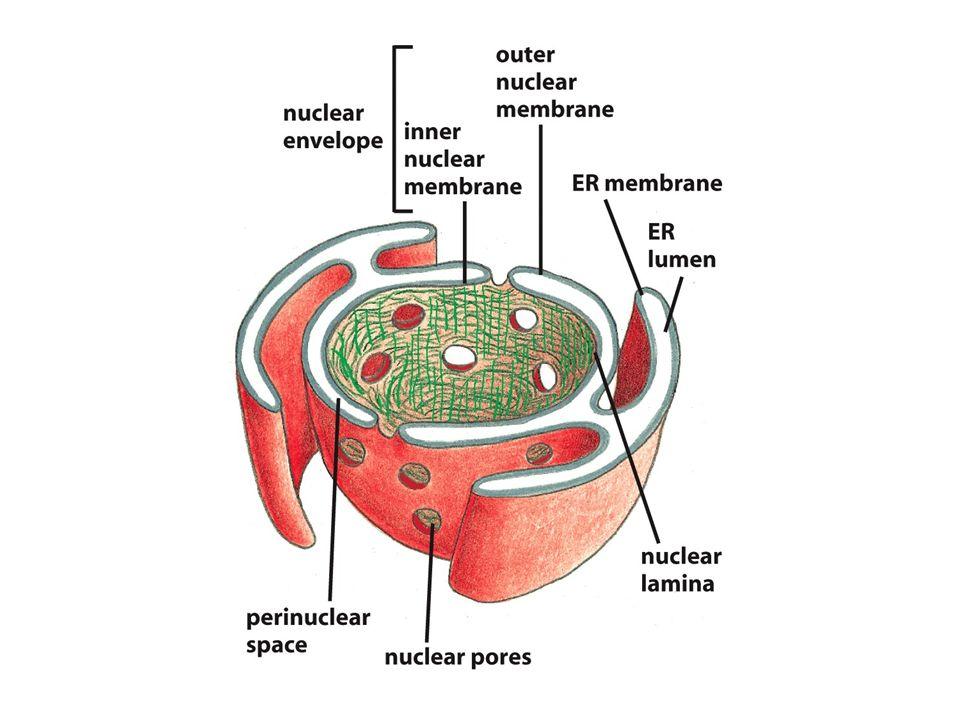 Figure 13-28 Molecular Biology of the Cell (© Garland Science 2008) RE: adición de azíucares en bloque, Golgi: uno a uno