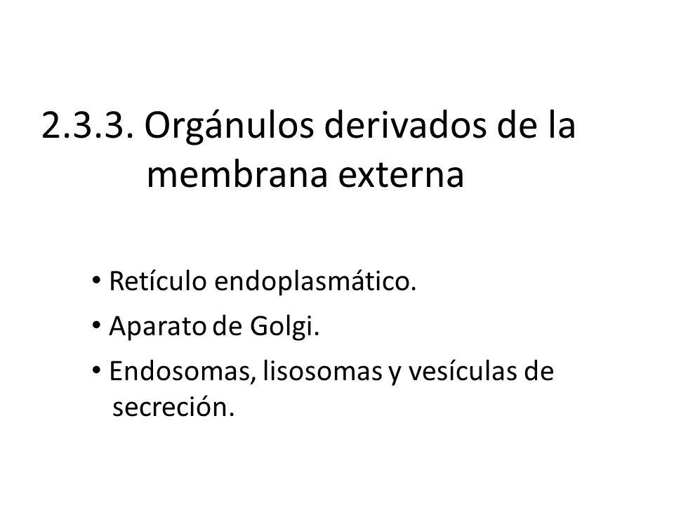 2.3.3. Orgánulos derivados de la membrana externa Retículo endoplasmático. Aparato de Golgi. Endosomas, lisosomas y vesículas de secreción.