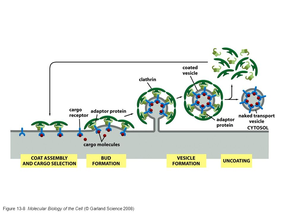 Figure 13-8 Molecular Biology of the Cell (© Garland Science 2008)