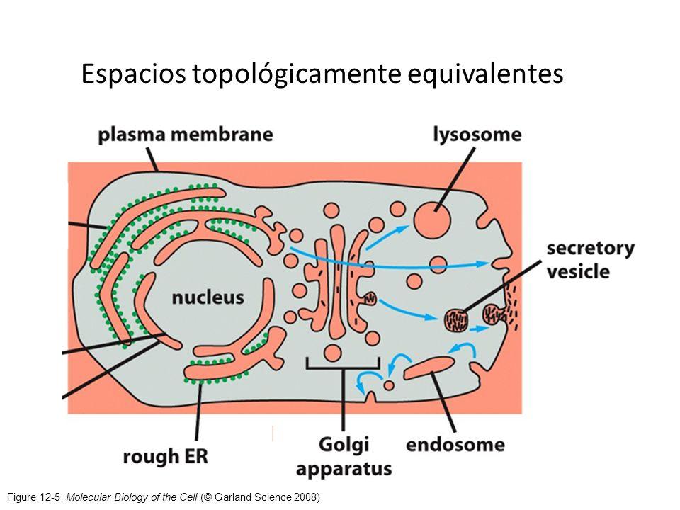 Figure 12-5 Molecular Biology of the Cell (© Garland Science 2008) Espacios topológicamente equivalentes