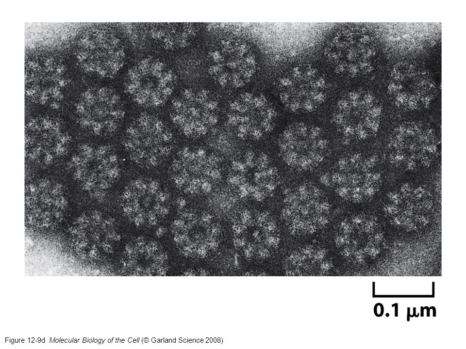 Figure 12-9d Molecular Biology of the Cell (© Garland Science 2008)